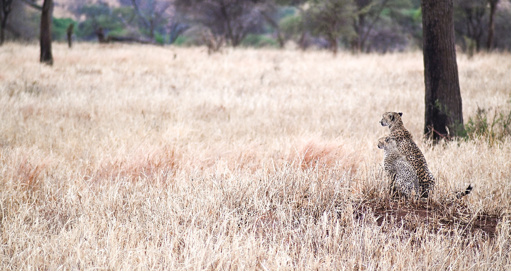 Cheetah and cub, taking in the views (and watching some warthogs intently). | Trac.City