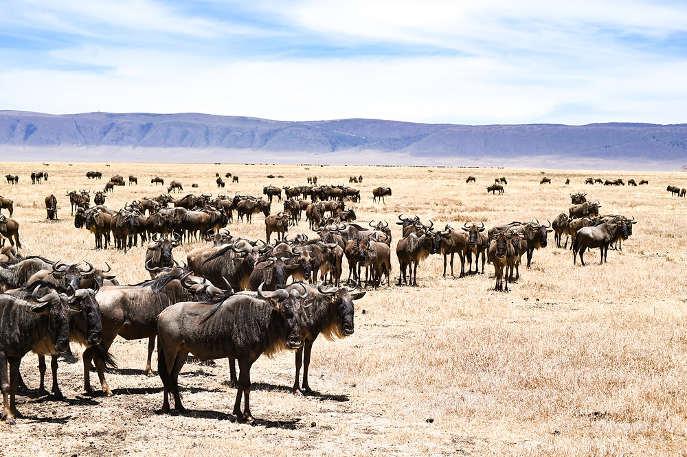 On the boarder between Tanzania and Kenya the straggling wildebeests wait to begin the migration. | Trac.City