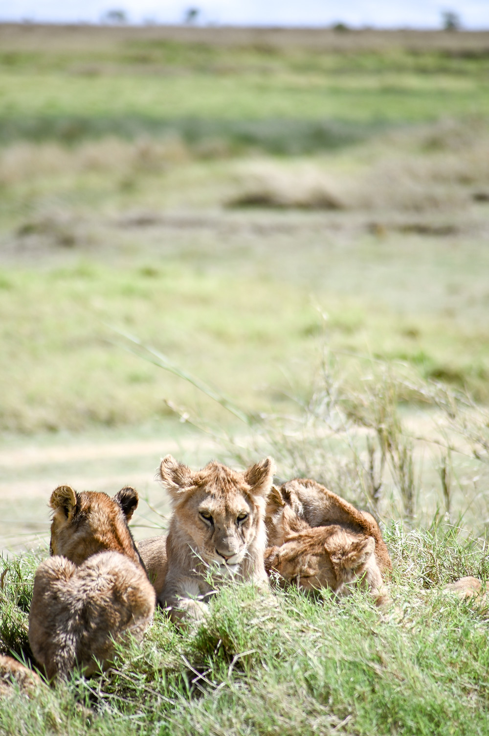 Lion cubs waiting for the pride to return. | Trac.City