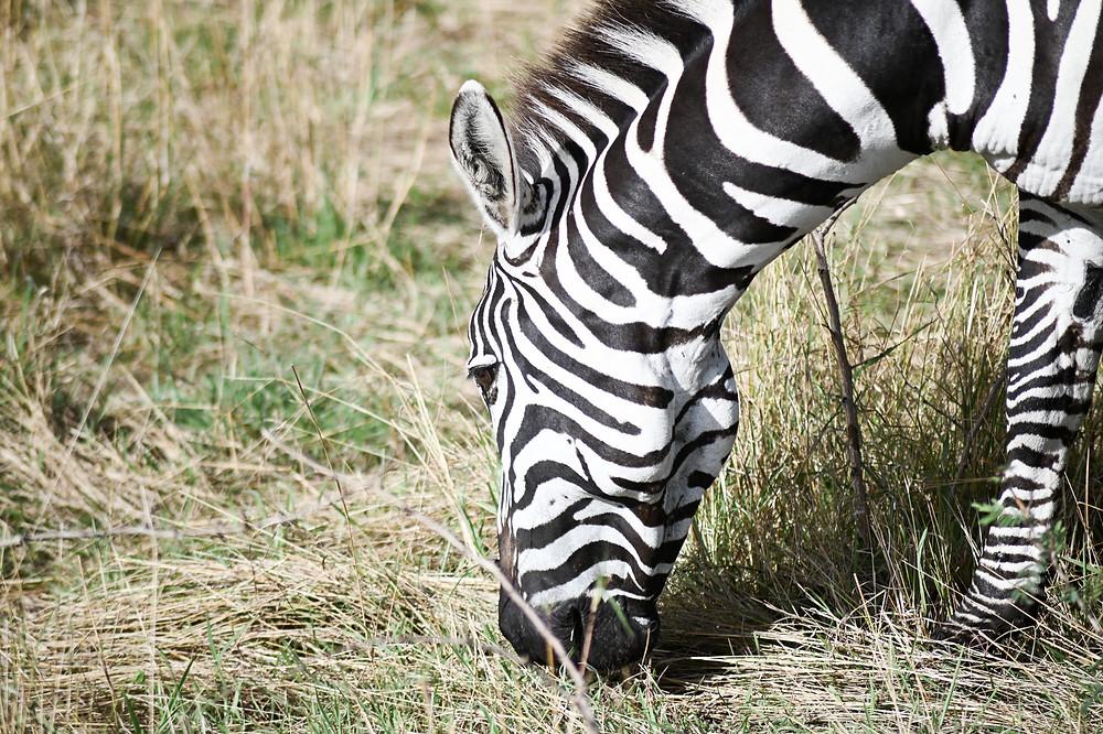 Debra the Zebra | Trac.City