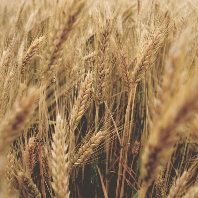 Saatgut für Biobauern