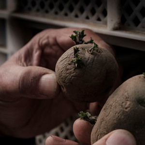 Vorgekeimte Saatkartoffeln
