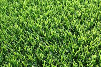 palisade zoysia grass plano.jpg