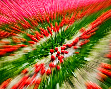 ZOOMING TULIPS