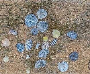seashells arranged on the shore