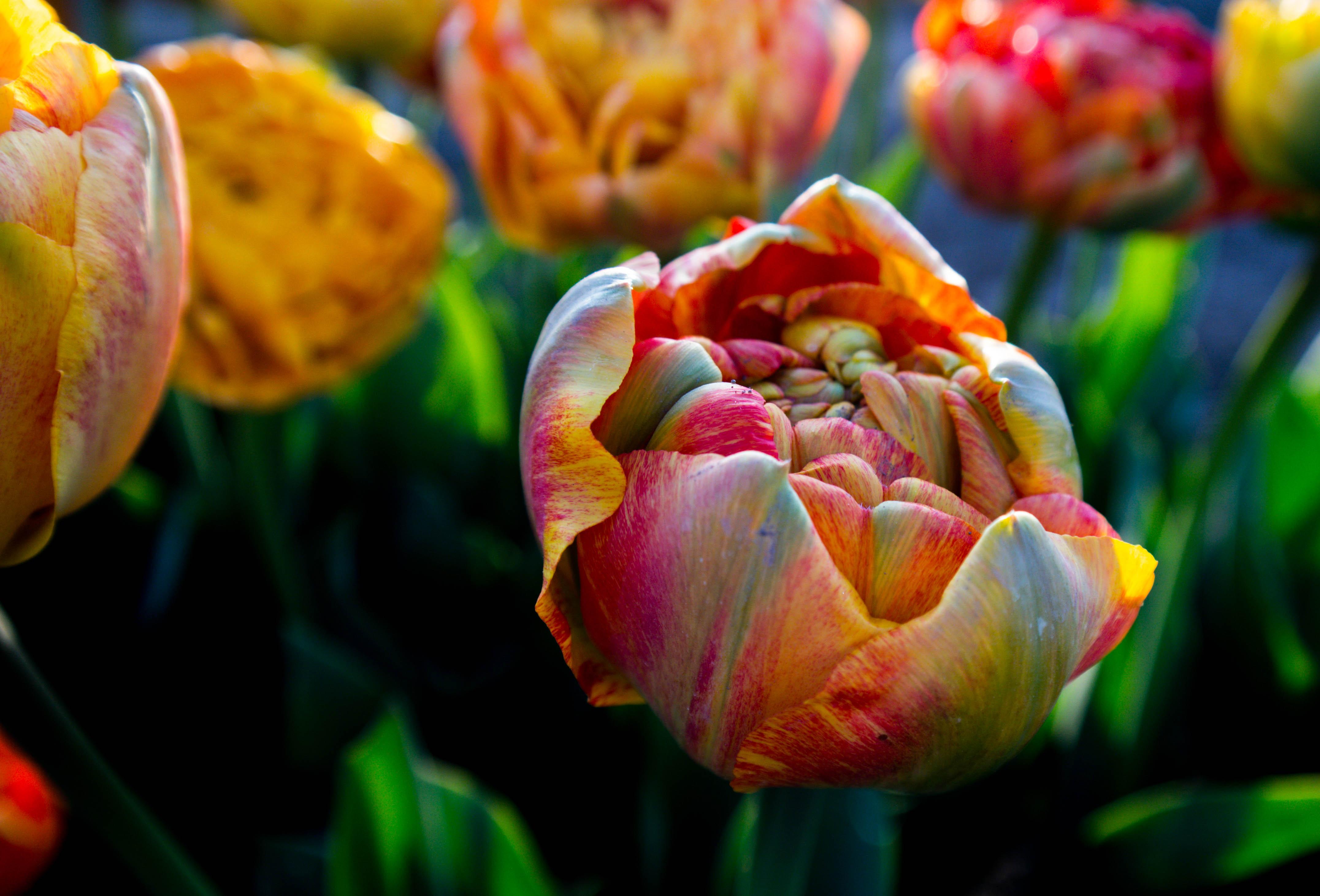 canada, tulip, macro photography
