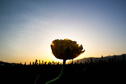 single yellow tulip silhouetted by sunrise