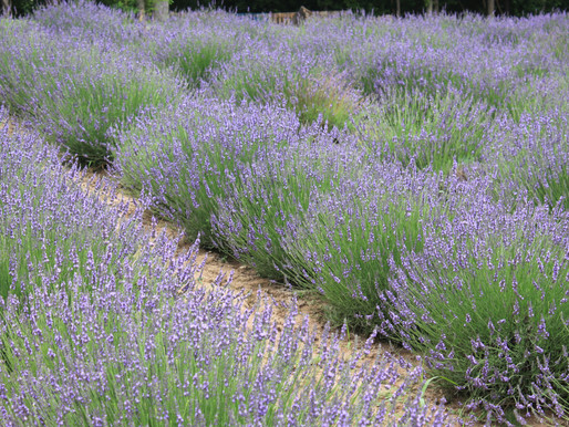 Life at Lavender Hill Farm