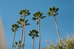 Those palm trees