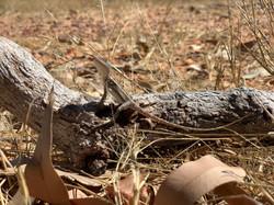 Wildlife on Olkola Country