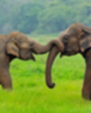 sri-lanka-wildlife-elephants.jpg