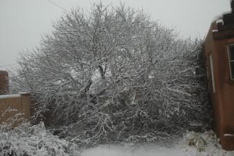 Judy Herzl Fallen Apricot tree.jpg