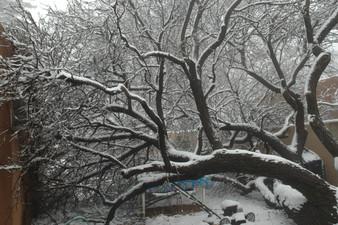 Judy Herzl fallen apricot tree_.jpg