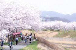 三田市 桜.jpg