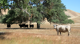 wilkinson cattle - 1.png