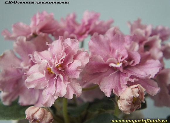 ЕК-Осенние хризантемы