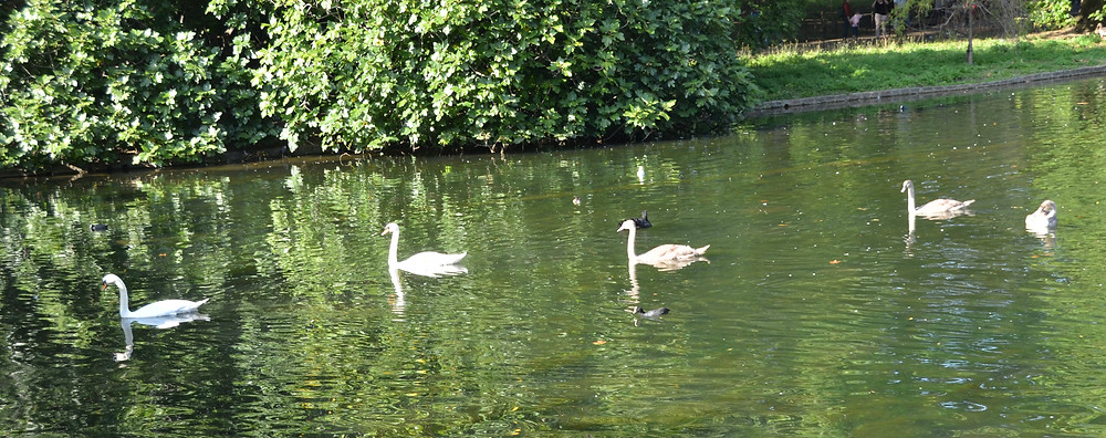 Swans in Green Park