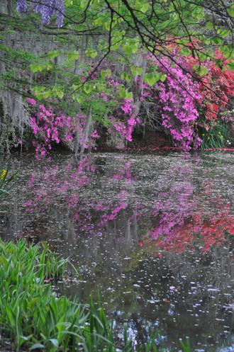 Azaleas, Magnolia Gardens