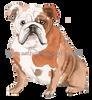 4 English Bulldog