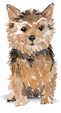 34 Norfolk Terrier