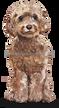 8 Cockapoo (Brown)