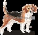 1 Beagle