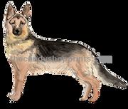 28 German Shepherd