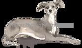 21 Italian Greyhound