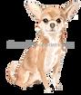 13 Chihuahua