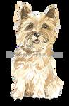 43 Cairn Terrier