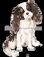 15b King Charles Spaniel tri-colour-king