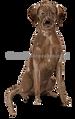 24 Labrador Retriever (brown)