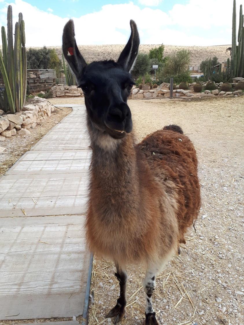Alpaca Farm, Mitzpe Ramon