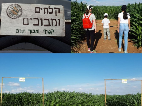 Cornfields in Hod Hasharon: A New Maze and Pickings