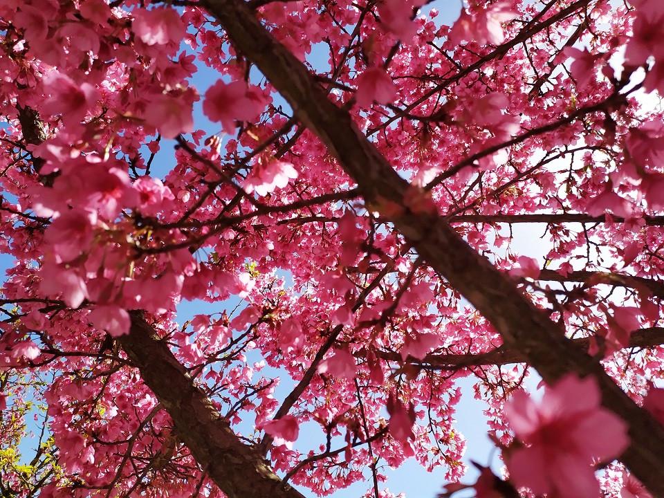 Jerusalem Botanical Gardens: Celebrating the 'Sakura' in Israel