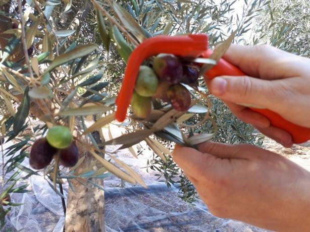 Tura Winery, Olive Harvesting, Samaria