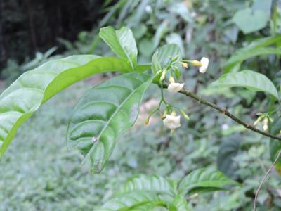 Iboga Plant Flowers | Ibogawaken