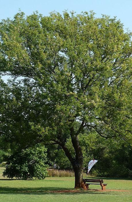acacia-caffra.jpg