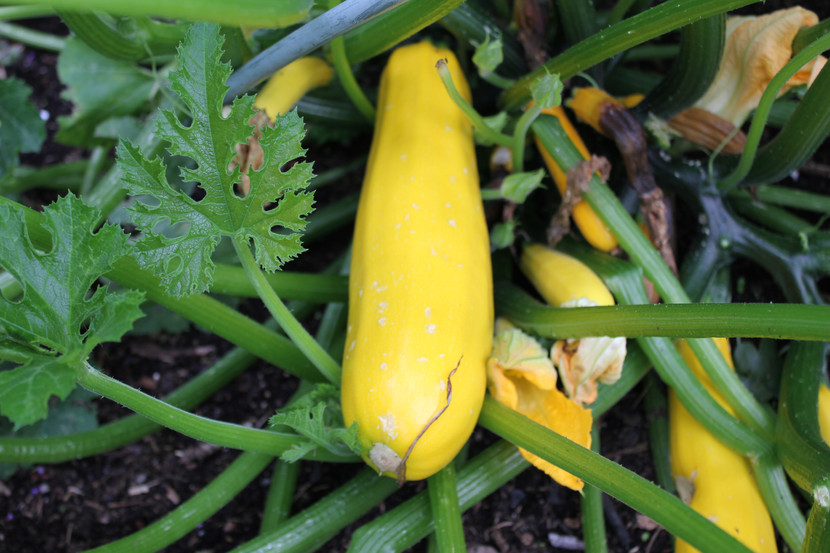 Golden courgette