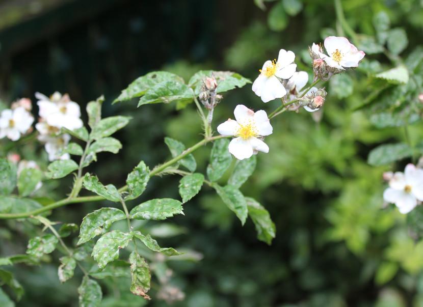 Veel voorkomende ziektes en plagen bij rozen