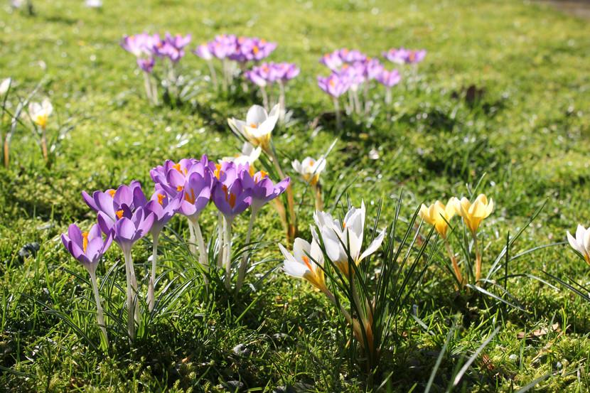 Tips - Bloembollen in het grasveld