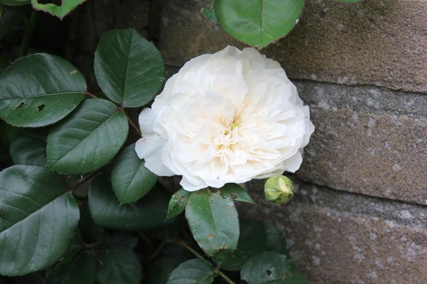10 Tips voor gezonde rozen