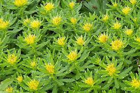 Rhodiola Another EPO booster?