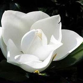 D. D. Blanchard Magnolia