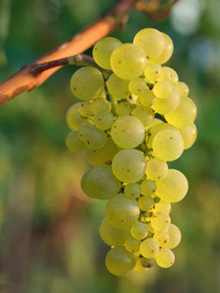 Chardonay Wine Grapevine