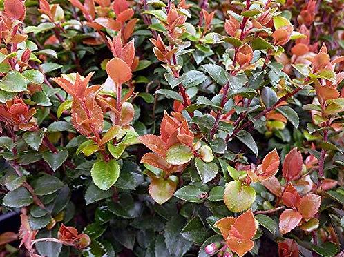 Scarlet Ovation Huckleberry