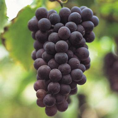 Black Spanish Southern Wine Grape