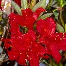 Molalla Red Azalea