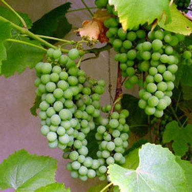 Niagra Bunch Seedless Grapes