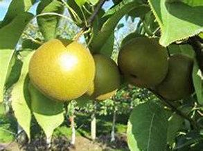 Korean Giant Asian Pear